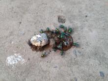 Green Meat Flies On Chicken Ex...