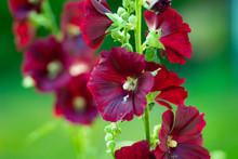 Red Fragrant Flower Bell On Th...
