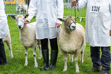 Goat Handlers Showing Livestock At Royal Three Counties Show Hereford.