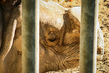 Sad Short Shot Of A White Rhinoceros (Ceratotherium Simum) Behind Some Safety Bars With The Filmed Horn