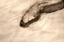 Sketch Of Black Rat Snake Close Up