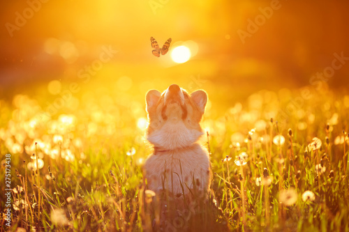 Fotografie, Obraz  beautiful red dog puppy Corgi fun catches a butterfly flying on a Sunny warm sum