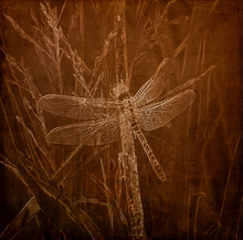 Illustration In Sepia Of An Eastern Pondhawk Dragonfly (Erythemis Simplicicollis) Perched On A Blade Of Grass
