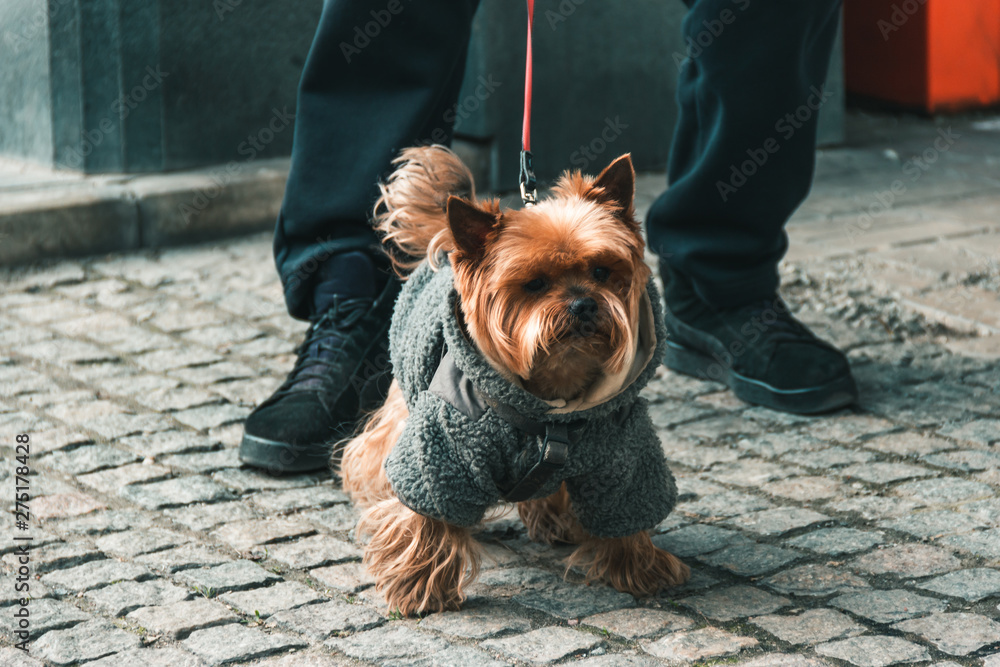 Fototapety, obrazy: A young male York sits at the feet of the owner. A dog on a walk with a collar and a leash in a suit on a sidewalk of tiles in the city in the spring.