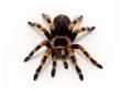 canvas print picture - Female Mexican orangeknee tarantula, Brachypelma hamorii, facing camera on white background