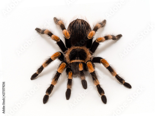 Foto Female Mexican orangeknee tarantula, Brachypelma hamorii, facing camera on white