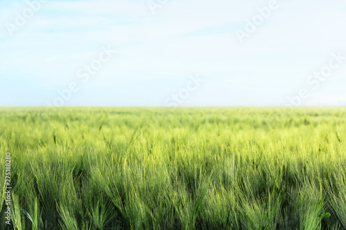 Photo  Green wheat field on sunny day