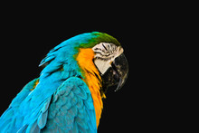 Blue And Gold Macaw Isolated