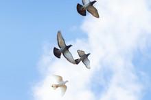 Flock Of Homing Pigeon Bird Fl...