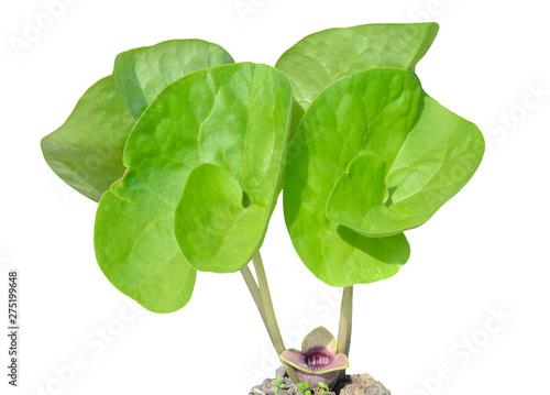 Medicinal herb coltsfoot (Asarum sieboldii) 3 Fototapet
