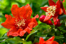 Stunning Bright Red Flowers On Pomegranate Trees