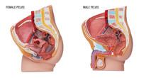 Plastic Human Body Model With Organs, Urinary, Pelvis Part