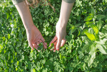 A Woman Is Looking At A Four Leaf Clover On A Meadow.