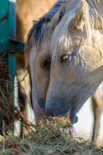 Fototapety, obrazy: Horses on the farm eat hay. Photographed close up.