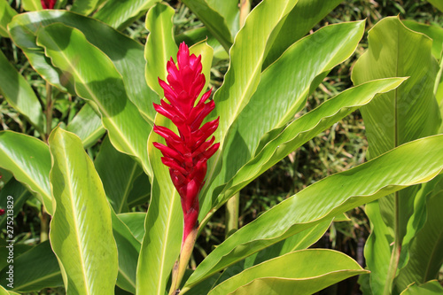 Red ginger flower (Alpinia purpurata) surrounded by bright green leaves Canvas Print