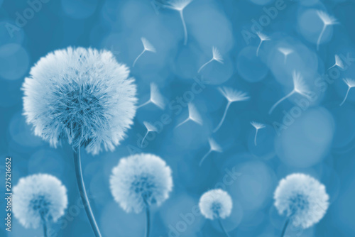 Obraz Dandelion with its seeds blown by the wind - fototapety do salonu