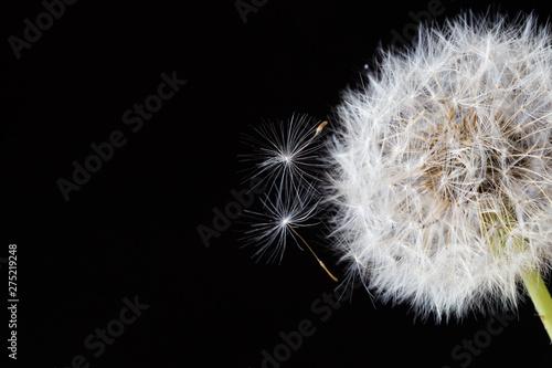 Fototapety, obrazy: Dandelion clock, close-up, macro - Image .