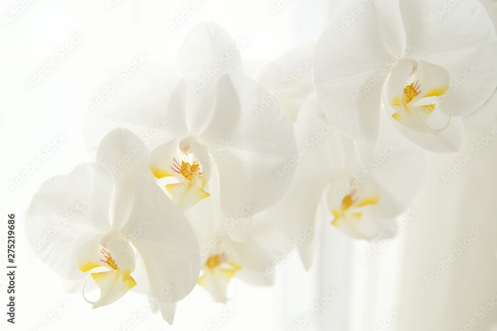 Fototapety, obrazy: Branch of white Moon orchids. Close up of white orchids on light background. Moon Orchid flower on blur background in composition with copy space.