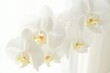 Branch of white Moon orchids. Close up of white orchids on light background. Moon Orchid flower on blur background in composition with copy space.