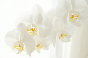 Fototapeta na wymiar Branch of white Moon orchids. Close up of white orchids on light background. Moon Orchid flower on blur background in composition with copy space.