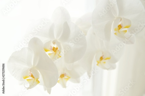 Tuinposter Orchidee Branch of white Moon orchids. Close up of white orchids on light background. Moon Orchid flower on blur background in composition with copy space.
