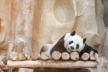 Cute Giant Panda Or Ailuropoda...