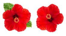 Hibiscus Flower Head Isolated White Background Red Blossom