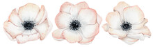 Watercolor Anemone Rose Flowers Illustration Isolated On The White Background