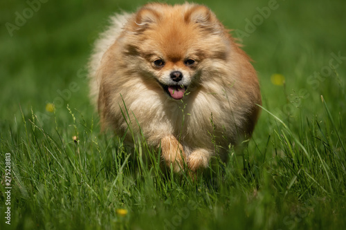 Foto  A little Pomeranian out in the nature