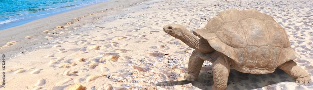 Fototapety, obrazy: Tortue géante sur plage