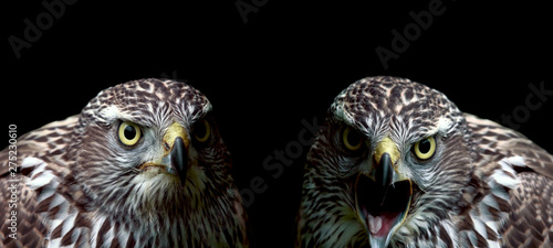 Two hawks close-up on black background Tablou Canvas