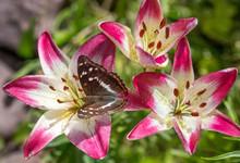 Butterfly Lesser Purple Empero...