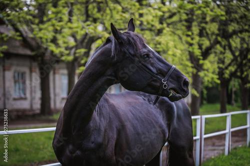 Fototapety, obrazy: Black horse running around the huge grass pens