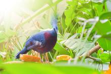 Victoria Crowned Pigeon Standi...