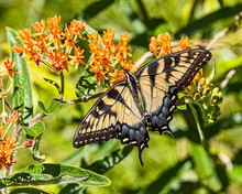 A Beautiful Male Eastern Tiger Swallowtail Butterfly Having A Lunch Of Nectar.