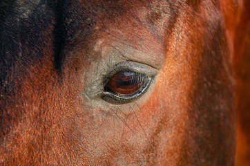 Eye of horse red color close up