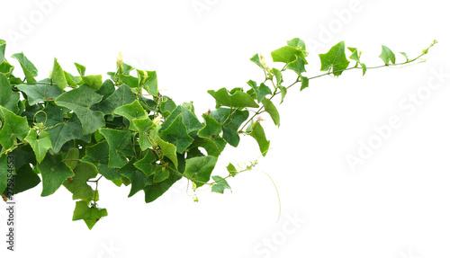 Poster Fleur vine ivy plant isolate on white background