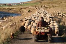 Gongur Sheep Moving Iceland