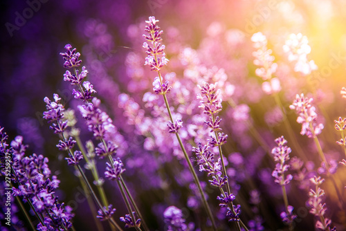 lavender flowers detail and blurred background with beautiful sunset color effect - 275259257