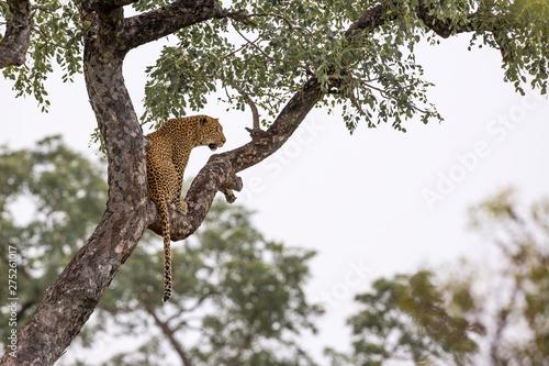 Leopard in Kruger National park, South Africa Canvas Print