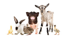 Funny Farm Animals Together Isolated On White Background