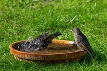 Adult Starling (Sturnus Vulgaris) Bathing In A Terracotta Bird Bath With A Juvenile Bird Looking On