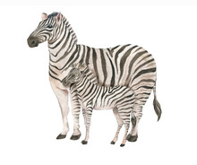 Hand Drawn Watercolor Illustration With Cute Zebras. Baby And Mother Zebra Isolated On The White Background