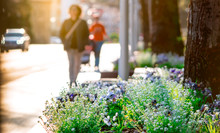 Spring Flowers Beside The Street In The City On Blurred People Walking And Car Driving On The Road. Beautiful White And Purple Flowers Around The Tree At Garden In Europe. Urban Street In The Morning.