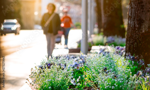 Poster Printemps Spring flowers beside the street in the city on blurred people walking and car driving on the road. Beautiful white and purple flowers around the tree at garden in Europe. Urban street in the morning.