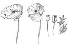 Sketch Ink Graphic Poppies Set Illustration, Draft Silhouette Drawing, Black On White Line Art. Botanical Vintage Etching Flower Design.
