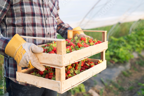 Shot of an unrecognizable farmer in casual clothing carrying crate full of freshly harvested strawberries. Close up view of strawberry fruit in greenhouse growing field. Organic fruit production. - 275273881