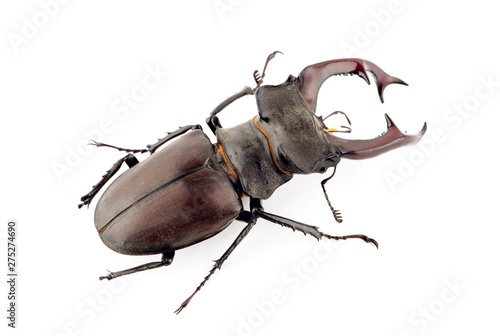 Fotografija Male stag beetle, Lucanus cervus isolated on white background