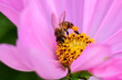 canvas print picture - Closeup and Selective Focus Pink Cosmos flower pollen and The bee is looking for sweet water to see the beautiful colors  for wallpapers and backgrounds.