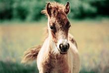Cute Little Haflinger Horse Foal, Blond Chestnut, Standing Alertly In A Meadow